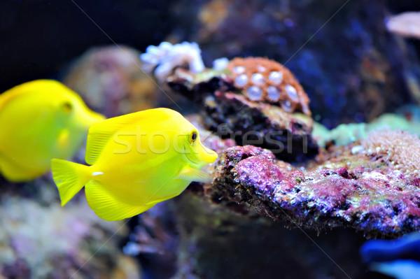 Tropical fish Stock photo © byrdyak