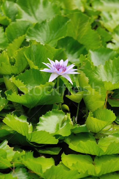 Waterlily Stock photo © byrdyak