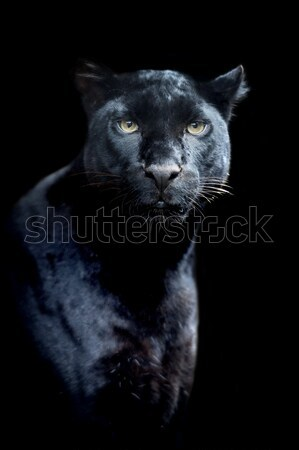 Black leopard Stock photo © byrdyak