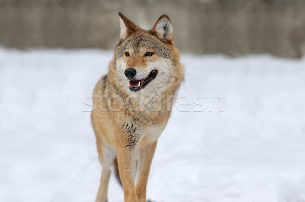 Gray wolf Stock photo © byrdyak