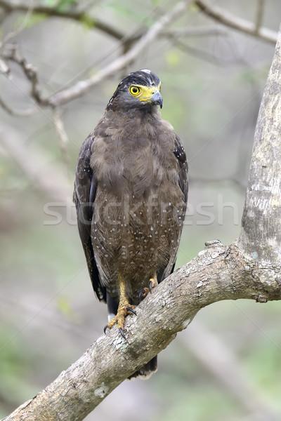 Serpent aigle oeil nature oiseau Photo stock © byrdyak