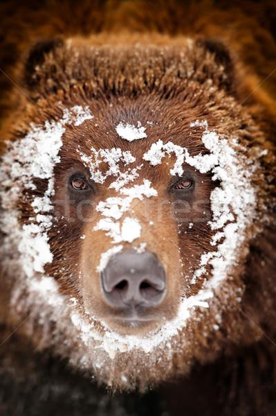 Bear portrait Stock photo © byrdyak