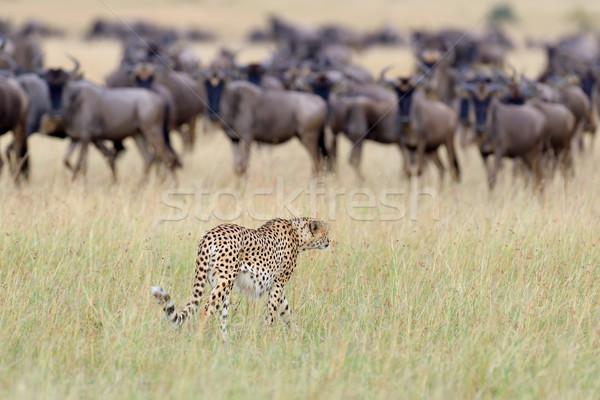 Sauvage africaine guépard belle mammifère animaux Photo stock © byrdyak