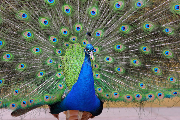 Portrait of beautiful pavo Stock photo © byrdyak