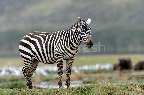 Zebra rezerwa Afryki Kenia wygaśnięcia podróży Zdjęcia stock © byrdyak
