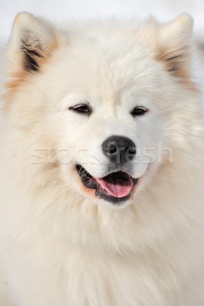 Portrait dog Stock photo © byrdyak