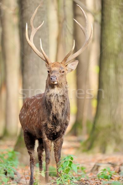 Stock fotó: Szarvas · ősz · erdő · fű · piros · fiatal