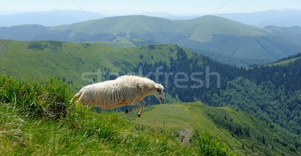 Sheep in mountain Stock photo © byrdyak