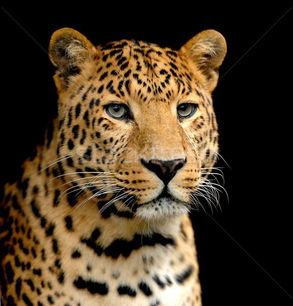 Leopardo retrato ojos África animales piel Foto stock © byrdyak