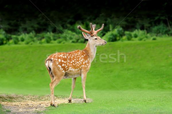 Sika deer Stock photo © byrdyak