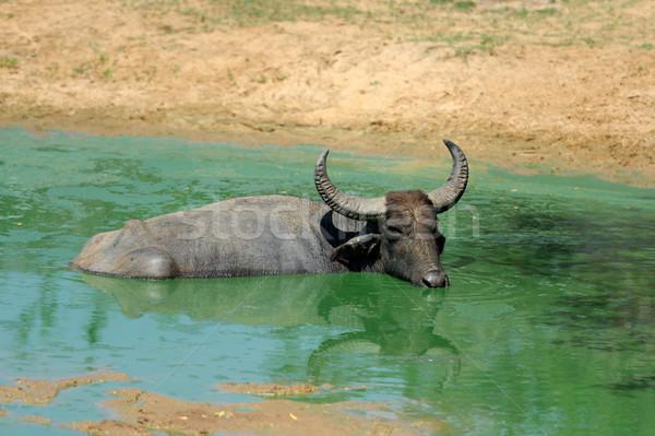 Víz fürdik tó Sri Lanka természet tehén Stock fotó © byrdyak