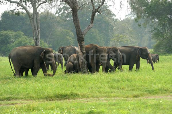 Elefantes parque verão viajar elefante asiático Foto stock © byrdyak