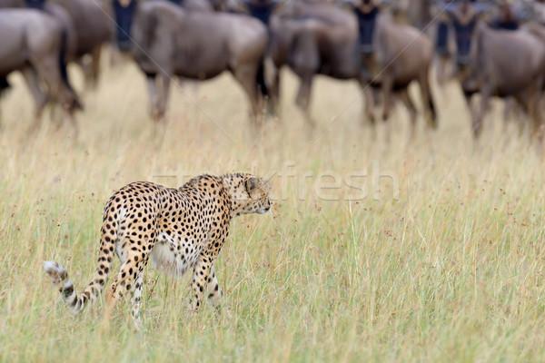 Photo stock: Sauvage · africaine · guépard · belle · mammifère · animaux