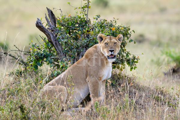 Сток-фото: лев · тесные · парка · Кения · Африка · кошки