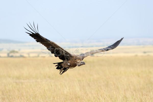 Voador parque Quênia árvore olho Foto stock © byrdyak