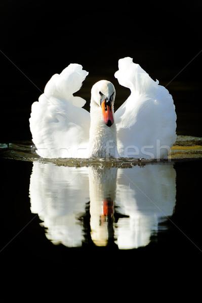Stock photo: Swan