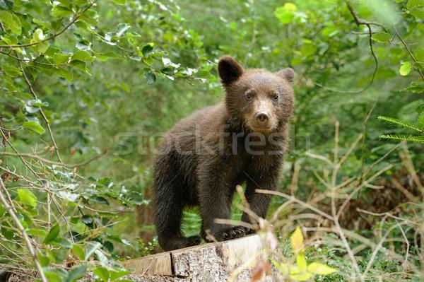 Barnamedve medvebocs erdő víz fa természet Stock fotó © byrdyak