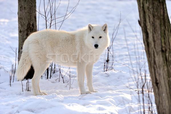 Wolf mooie wild witte winter gezicht Stockfoto © byrdyak