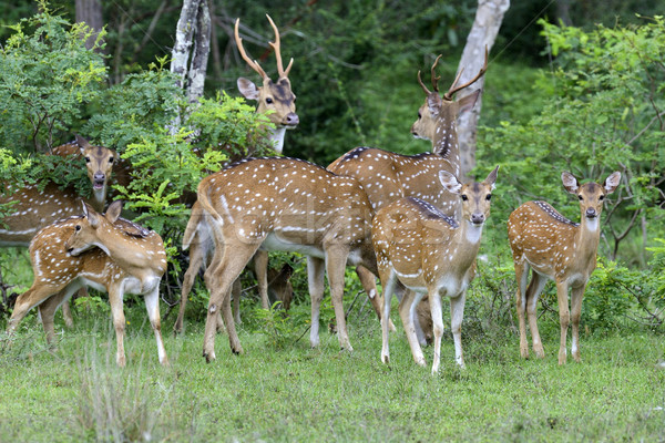Stock photo: Wild Spotted deer