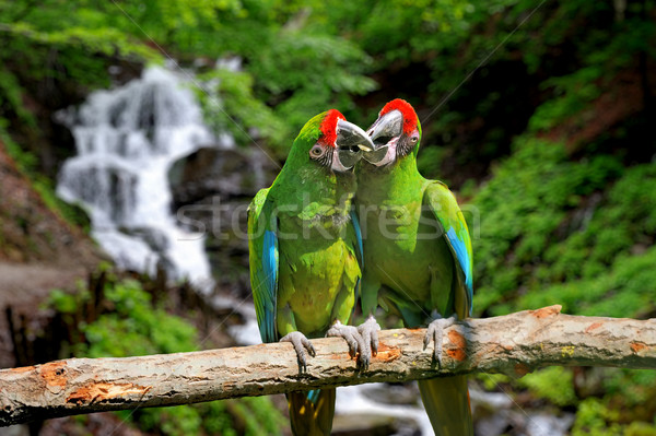 Parrot against tropical waterfall background Stock photo © byrdyak
