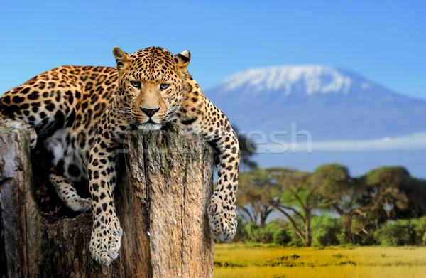 Leopard séance arbre Kilimandjaro oeil nature Photo stock © byrdyak
