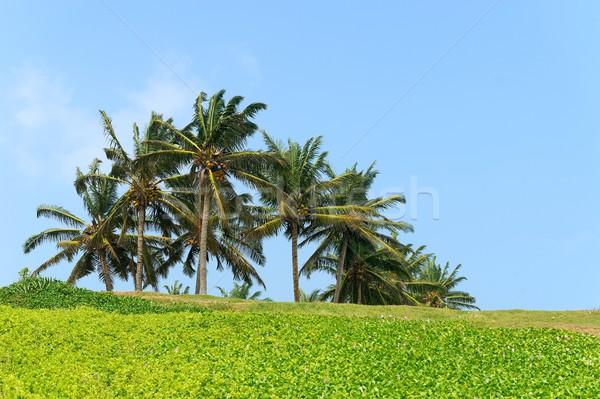 Palmeiras blue sky árvore folha verão palma Foto stock © byrdyak