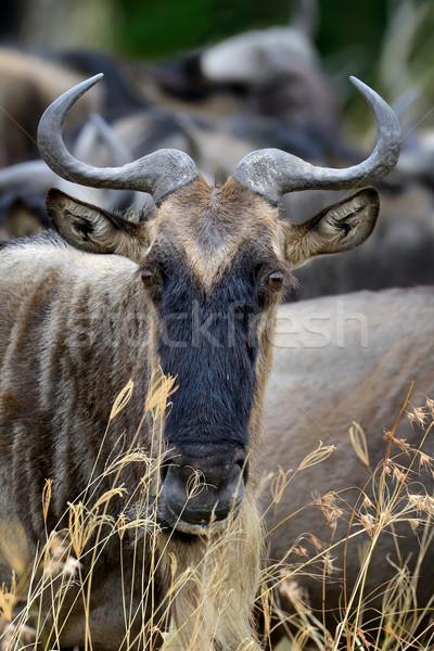 Wildebeest, National park of Kenya, Africa Stock photo © byrdyak