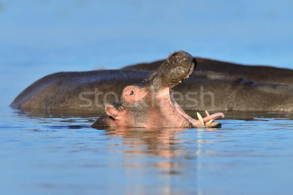 Hippo (Hippopotamus amphibius) in the water Stock photo © byrdyak