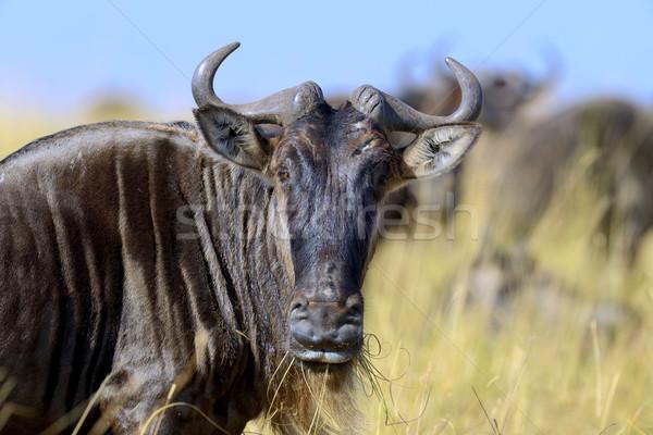 Wildebeest, National park of Kenya Stock photo © byrdyak