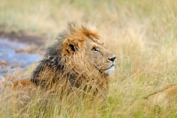 Zárt oroszlán park Kenya Afrika macska Stock fotó © byrdyak