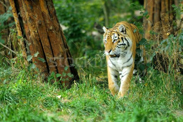 Tigre primer plano hermosa hierba árbol gato Foto stock © byrdyak