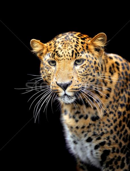 Leopard portret Afryki czarny parku żółty Zdjęcia stock © byrdyak