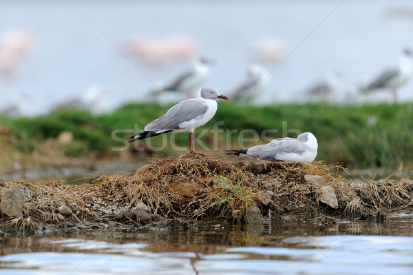 Grey-Headed Gulls (Larus cirrocephalus) Stock photo © byrdyak