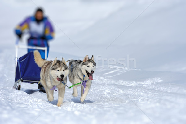 A team of Siberian sled dogs pulling a sled through the winter f Stock photo © byrdyak