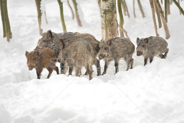 Wild mannetjesvarken winter bos boom portret Stockfoto © byrdyak