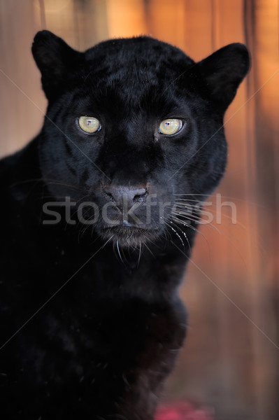 Leopar portre güzel gözler Stok fotoğraf © byrdyak