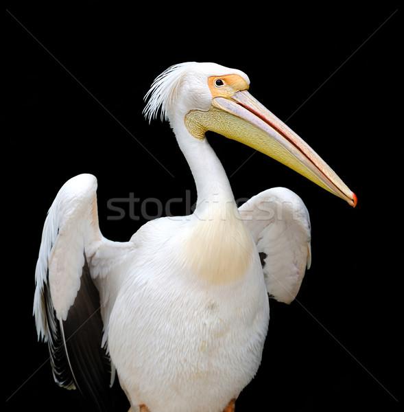 Portrait of a European white pelican Stock photo © byrdyak