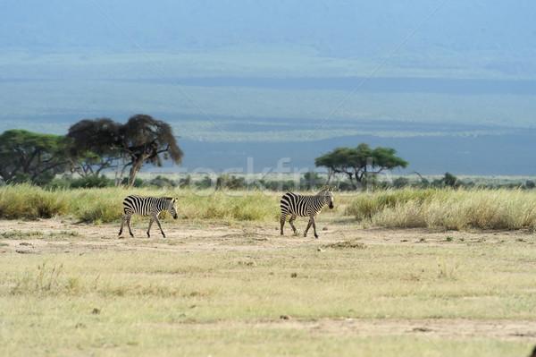 Zebra park Afrika Kenya természet ló Stock fotó © byrdyak