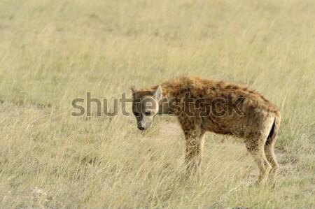 Hyäne Hund Gesicht Augen Haar Porträt Stock foto © byrdyak