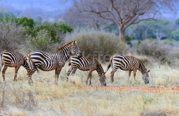 Zebra on grassland in Africa Stock photo © byrdyak