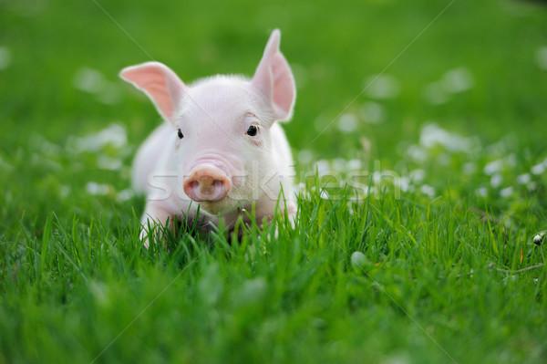小さな 豚 緑の草 春 自然 夏 ストックフォト © byrdyak