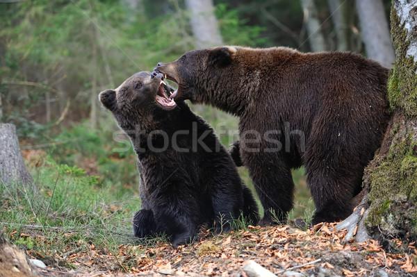 Bruine beer jonge wild bos boom natuur Stockfoto © byrdyak