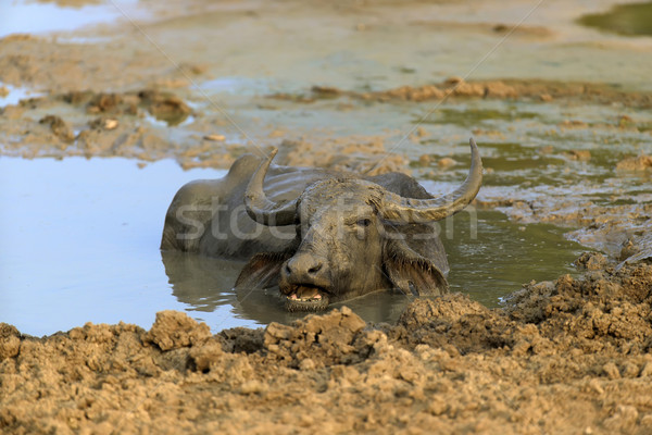 Water buffalo are bathing in a lake Stock photo © byrdyak