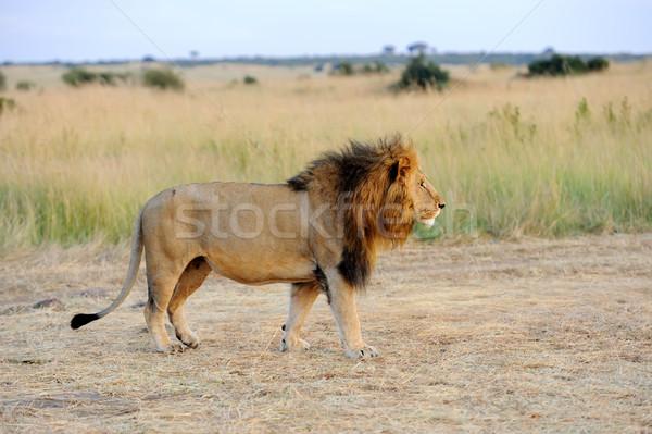 Stok fotoğraf: Yakın · aslan · park · Kenya · Afrika · kedi