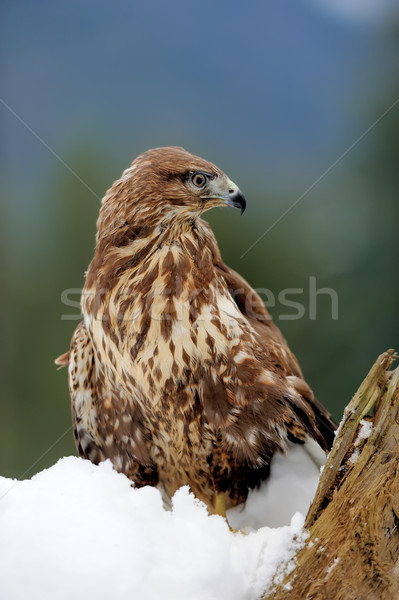 Stock photo: Hawk on a branch
