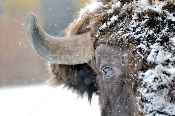 Bison in winter Stock photo © byrdyak