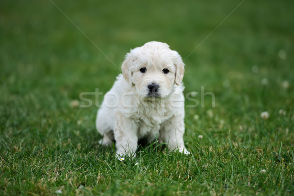 Baby swiss shepherd sitting Stock photo © byrdyak