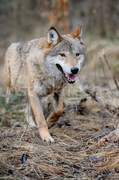 волка лес лице природы животные Сток-фото © byrdyak