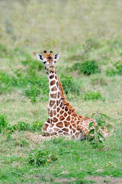 жираф молодые резерв Кения небе Сток-фото © byrdyak