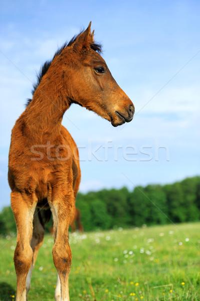 Bebé caballo verano azul ir velocidad Foto stock © byrdyak